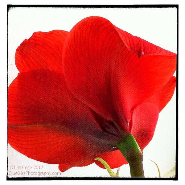 Amaryllis Beauty